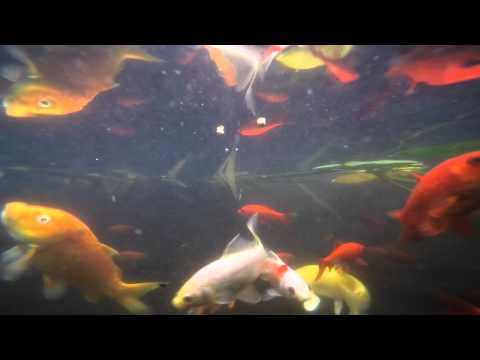 Gopro hd underwater feeding koi and goldfish in pond hero4 for Koi vs goldfish