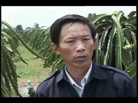 Kỹ Thuật Chăm Sóc Cây Thanh Long Tại Bình Thuận