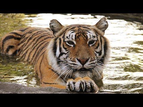 A Tiger Update