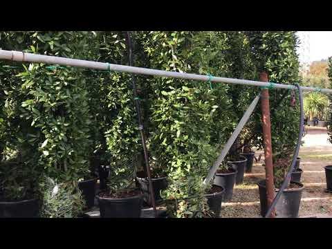 Big Plant Nursery  - Choosing Bay Trees (Laurus nobilis) in Italy 2017