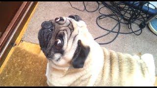 Angry Pug