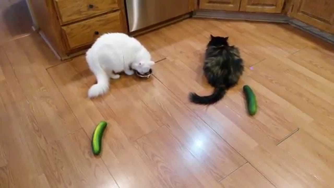 Cats V Cucumber Video