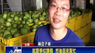 麻豆文旦盛產期 遊子請「採果假」回鄉幫忙
