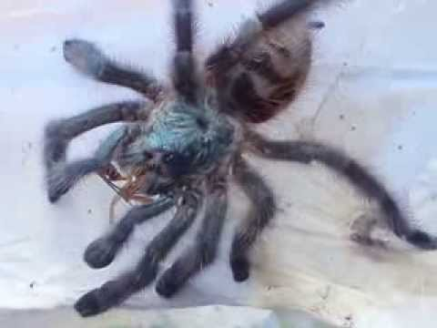 Avicularia Metallica Female Feeding