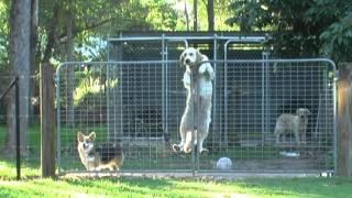 Crazy Golden Retriever Climbs A Fence!