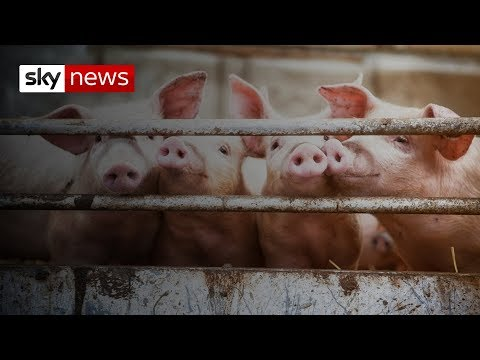 Pig-to-human heart transplants 'possible by 2022'