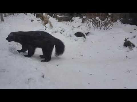 Running wolverine