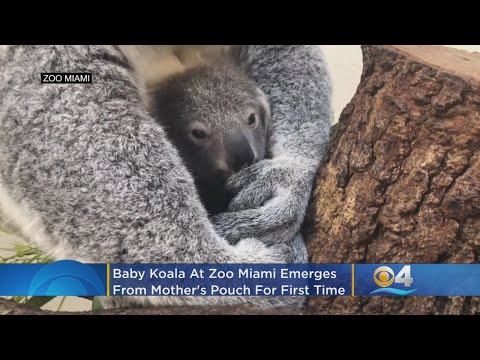 Deuce - Hope Koala Born At Florida Zoo
