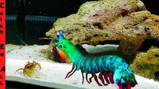 RAINBOW SHRIMP Builds CRAB TRAP on CAMERA!