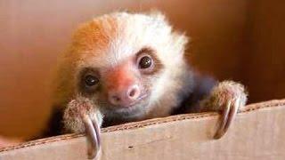 Симпатичные ленивцы - смешной и милый ленивец. Видео Подборка