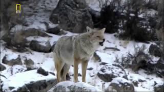 Животный мир. Волки парка. Бизоны Америки. Внимание стада. Голодный гризли. Древняя вражда