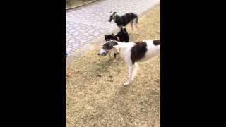 足が長い犬にはかないません 江戸 KO 負け.