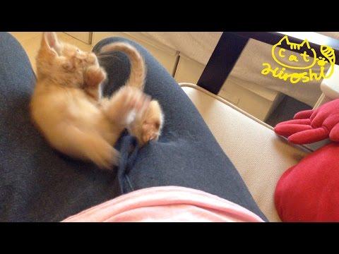 茶トラ子猫「ひろし」落ちましたーーーーー。 Funny cat video: Cat falling down