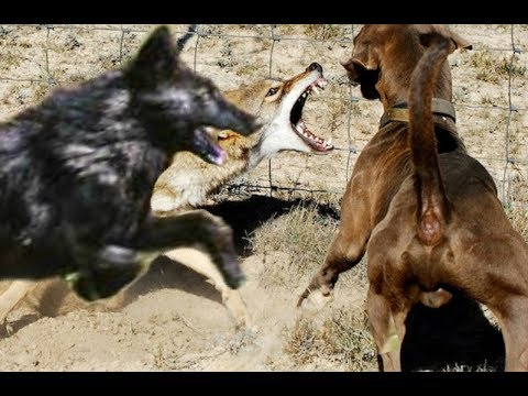 Big black Coyote chases the dog!!!