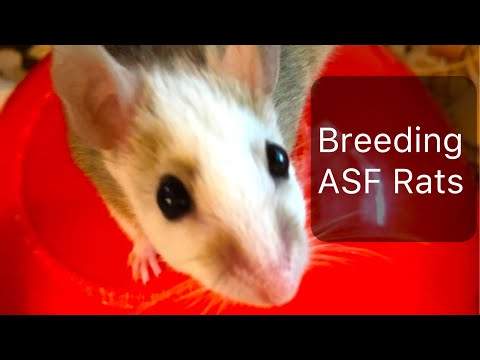 3 Reasons ASF Rats Are BEST