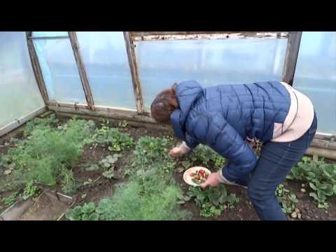 жизнь на Кубани/ 7 декабря/ ещё цветут розы / я иду собирать клубнику