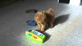 Red Toy Poodle Puppy Plays Toy Piano