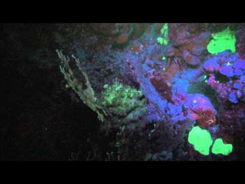 Reef Check with HighTech Fluorescence during Night Dives in Marsa Shagra