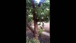 видео Почему черешня не плодоносит