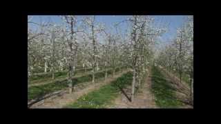Repeat youtube video Gusta sadnja šljive
