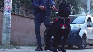GO TO CANE CORSO MEETING WITH AMERICAN BULLY XL !!
