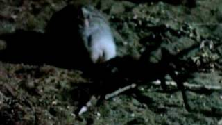 Mouse Kills Scorpion AND Tarantula!