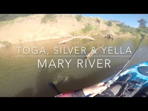 70cm Saratoga, Silver Perch & Yellow Belly Fishing The Mary River on Dragon Kayak