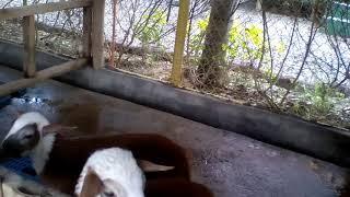 Goat say MEE.  MEE   MEE, MEE lol hahahahahahahaha