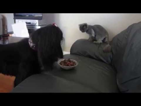 Food Fight Between Afghan Hound Dog and Persian Cat. Who do you think wins?