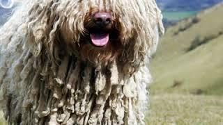 Puli  Dog Breed  Pet Friend