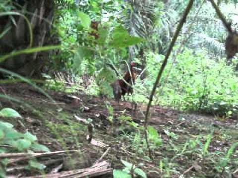 Ayam Hutan Jerantut 2