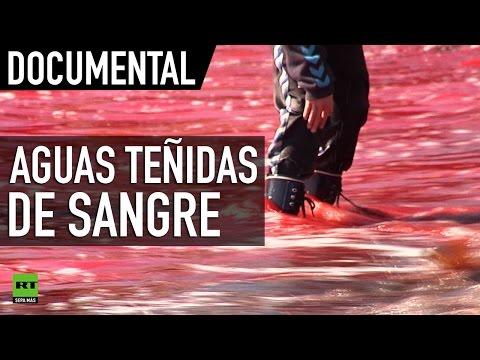 Aguas teñidas de sangre: Matanza de ballenas en las Islas Feroe - DOCUMENTAL