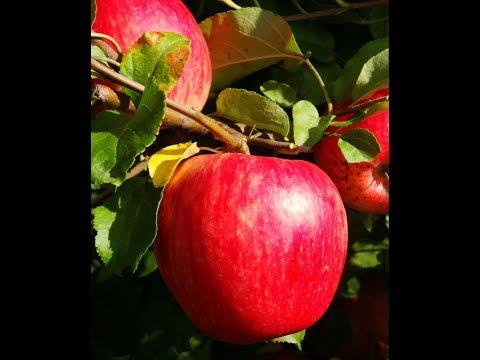 Прогулка по саду сорта  Белорусское сладкое, Арнабель, Сябрына,Поспех вербное | белорусское | арнабель | сябрына | сладкое | вкусные | вербное | яблонь | яблоки | поспех | лучшие