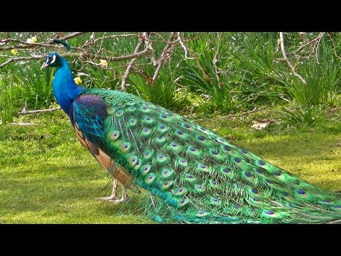 Peacock in All its Glory - मोर - الطاووس