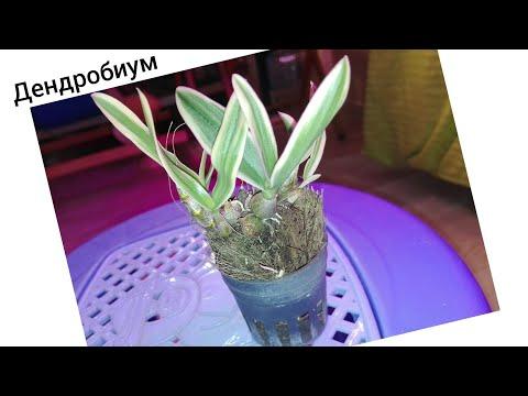 Дендробиум Dwarf variegated Tricolor огромная разница в цене и качестве растения