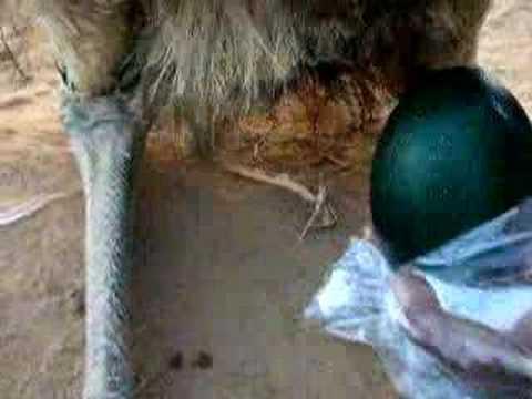 Kiwi egg vs ostrich egg - photo#35