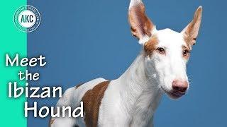 Meet the Ibizan Hound