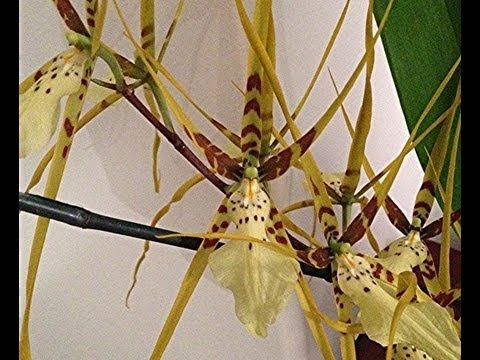 The Spider Orchid : new spikes and old blooms on this potted Oncidium Orchid in the Greenhouse