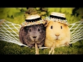 Cute Guinea Pigs Playing 😍 [Funny Pets]