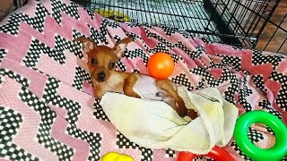 Miniature Pinscher | Min Pin Puppy happy to see his bed || தமிழ்/Tamizh ❤