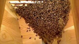 Life inside the beehive part 4 / Livet i bikupan del 4