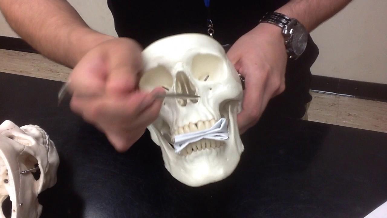 Skull lab Model Anatomy and Physiology - YouTube