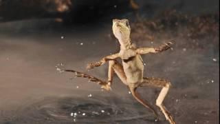 Ящерица способная передвигаться по воде.