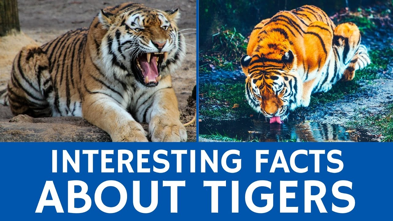 Image result for Interesting facts about tigers