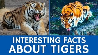 All about Tigers - Interesting Facts for Kids and Educational Animal Video for Schools
