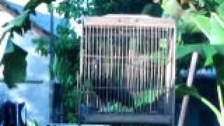 suara ayam hutan hijau  indukan bekisar