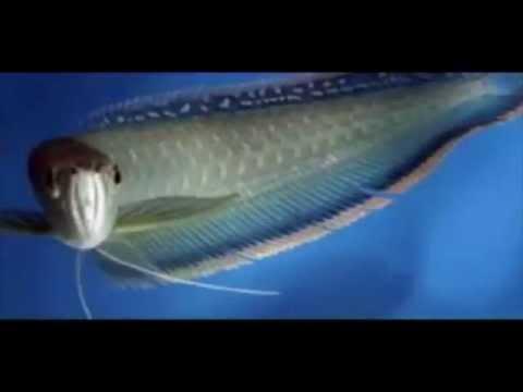 arowana fish feeding in india