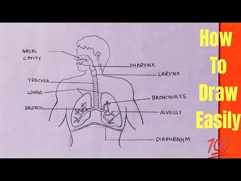 How To Draw Human Respiratory System In Easy Way Step By Step