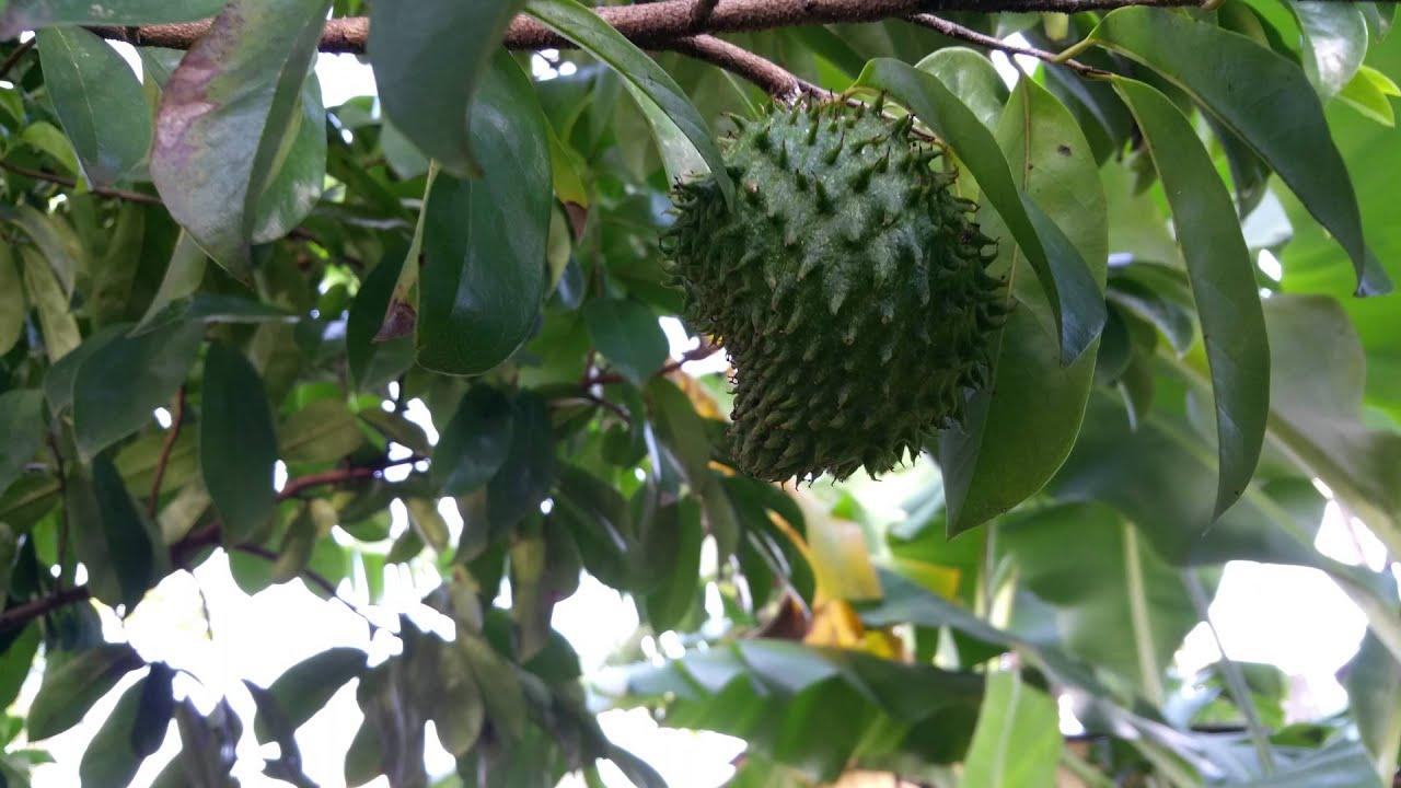 Arbol de guan bana o graviola en detalle fruta milagrosa for Arboles que no pierden sus hojas en otono