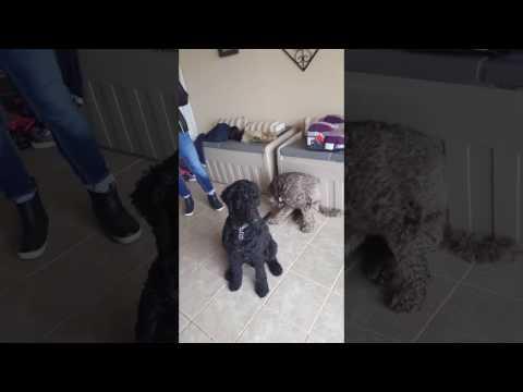Labradoodle Lovers Bella and Dante - Dreamydoodles.com